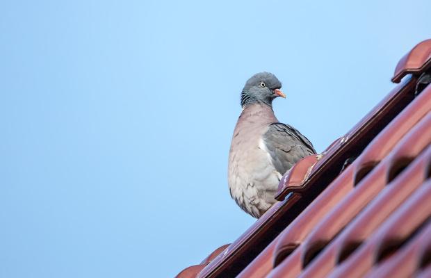 Tauben-Abwehr
